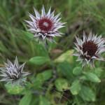 Garden Perennials and Bulbs From the Grassland Biome