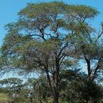 Acacia (Senegalia) nigrescens
