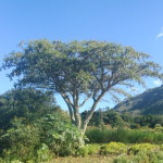 Acacia (Vachellia) sieberiana