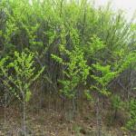 Afrocanthium gilfillanii