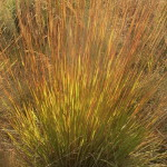 Andropogon chirensis