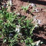 Ocimum (Becium) angustifolium