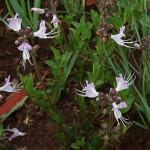 Ocimum (Becium) obovatum