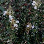 Blepharis squarrosa