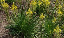 Bulbine abyssinica in flower