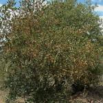 Combretum heroense