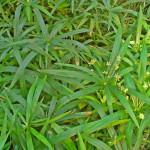 Cyperus albo-striatus