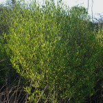 Dodonea angustifolia
