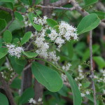 Ehretria amoena