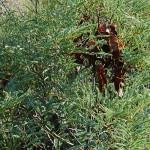 Elephantorrhiza burkei