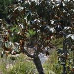 Englerophytum magaliesmontanum