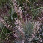 Eragrostis nindensis
