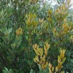 Euclea natalensis