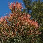 "Euphorbia tiruchalli ""firesticks"""
