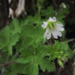 Geranium wakkerstroomianum
