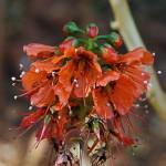 Greyia flanaganii