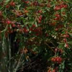 Gymnosporia tenuispina
