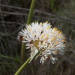 Haemanthus montanus