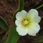 Hibiscus aethiopicus