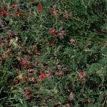 Indigofera hedyantha