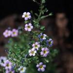 Jamesbritteania aurantiaca