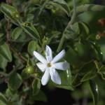 Jasminum breviflorum