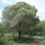 Olea europaea ssp africana