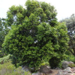Olea capensis