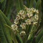 Pachycarpus schinzianus