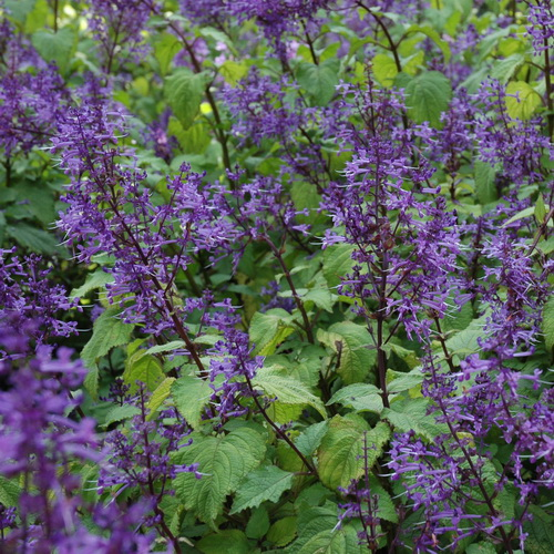 plectranthus fruticosus wildflower nursery. Black Bedroom Furniture Sets. Home Design Ideas