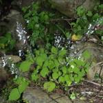 Plectranthus grallatus