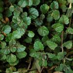 Plectranthus verticilatus