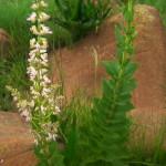 Rabdosiella calyphina