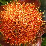 Scadoxus membranaceus