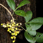 Searsia pentherii