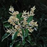 Tarchonanthus camphoratus