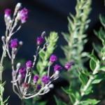 Vernonia oligocephala