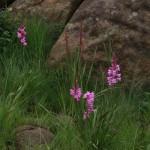Watsonia pulchra