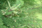 Acacia hebeclada