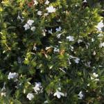 Barleria saxatillis