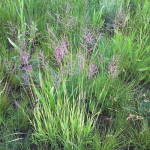 Bewsia biflora