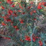 Lessertia frutescens