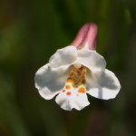 Mimulus gracillis