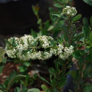Gymnosporia_buxifolia_0727