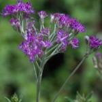 Vernonia sutherlandii