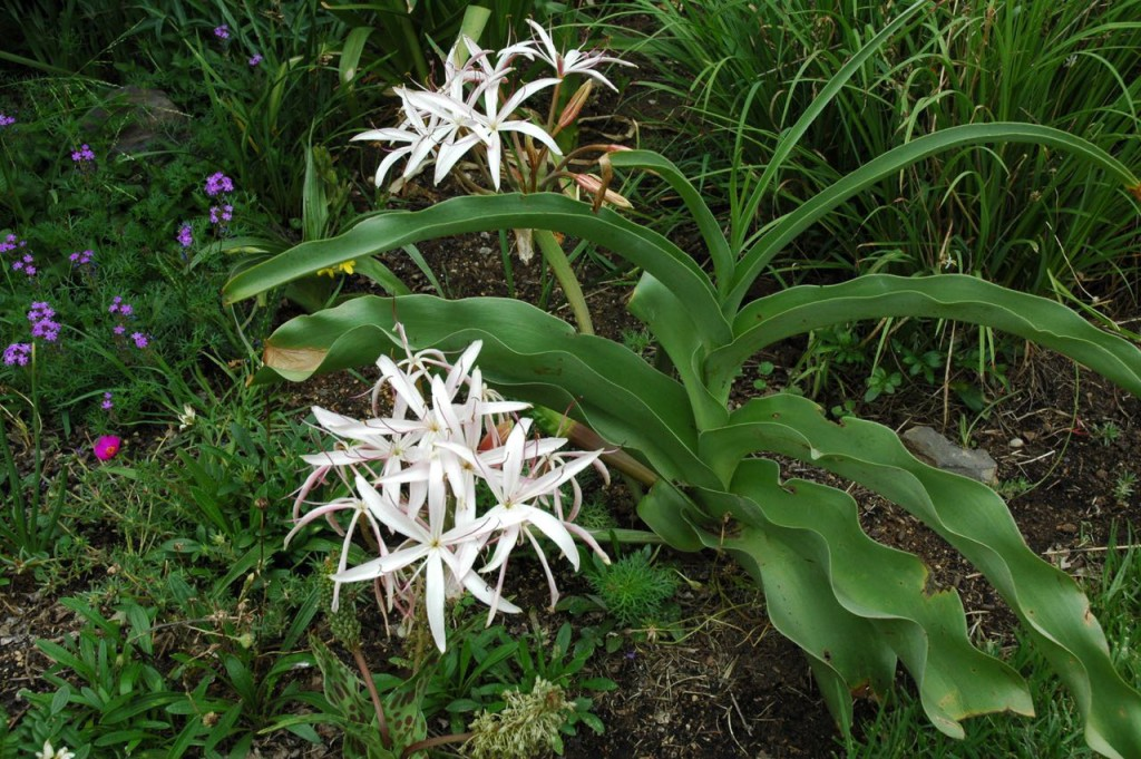Crinum boophanoides in flower