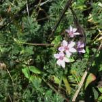 Pelargonium pseudofumarioides