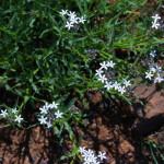 Pentanisia angustifolia