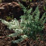 Asparagus suaveolens