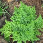 Cheilanthus viridus
